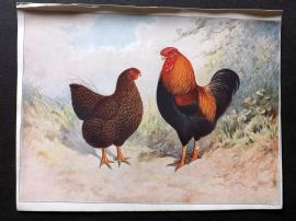 A. F. Lydon C1905 Antique Bird Poultry Print 02